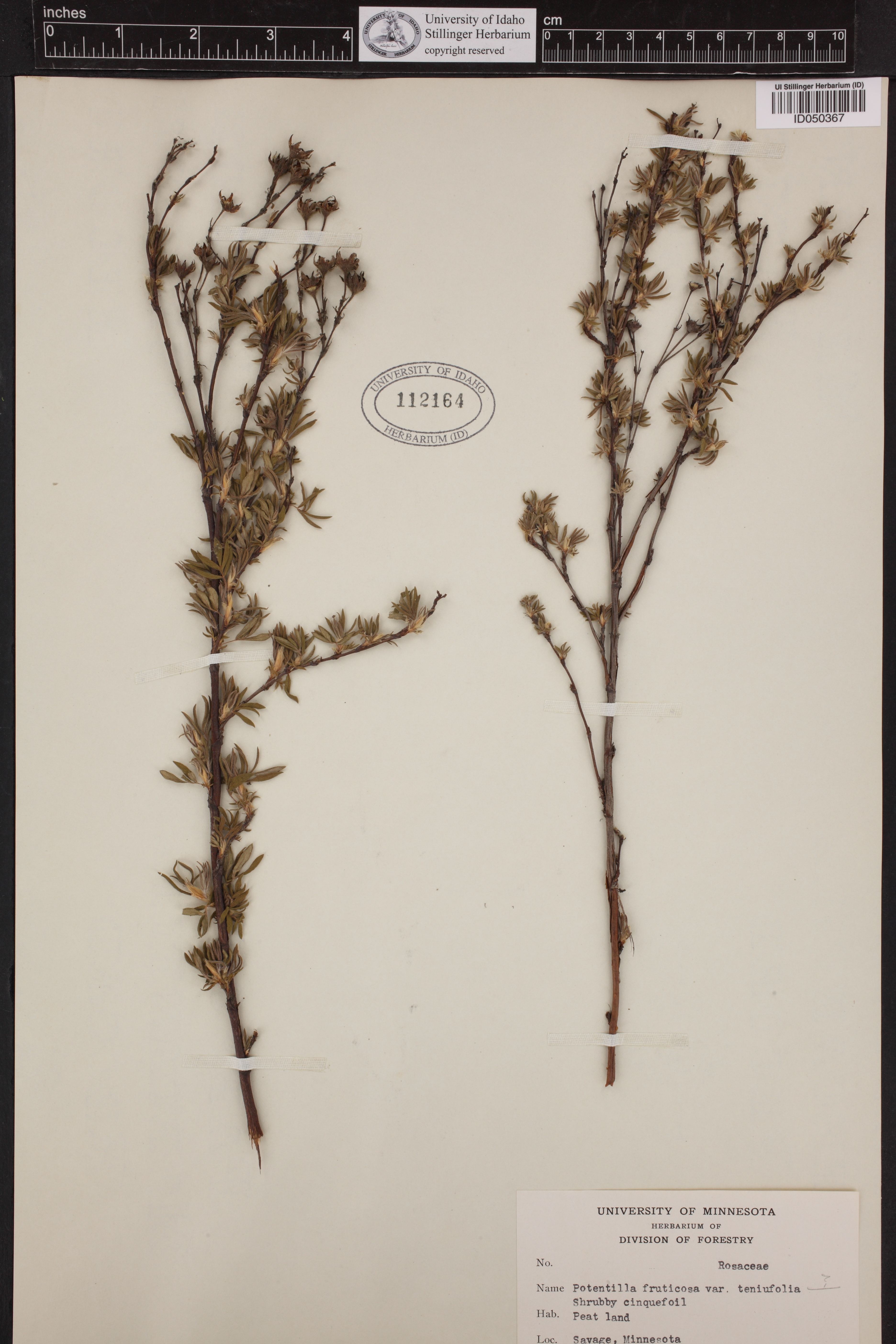 Tobosagrass Hilaria Mutica: Wildland Plant Identification